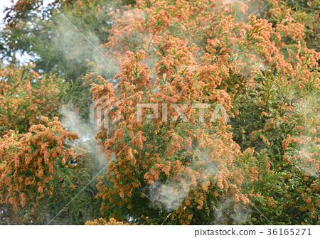 삼나무 꽃가루 -19735 36165271