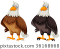 Two eagles with brown and black feather 36168668