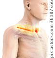 3D illustration of Clavicle, medical concept. 36187566