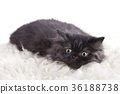 Little british cat 36188738