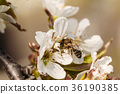 Apricot flower with a bee on it 36190385