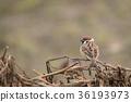 野生鳥類 野鳥 麻雀 36193973
