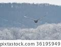 在冰(北海道)背景下飞翔的天鹅 36195949