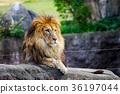 獅子 哺乳動物 貓科 36197044