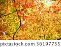 단풍, 큰 나무, 컬러풀 36197755