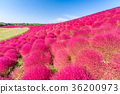 Kochia and cosmos filed Hitachi Ibaraki Japan 36200973