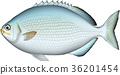 벡터, 물고기, 생선 36201454