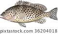 어류, 벡터, grouper 36204018