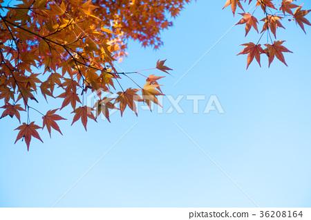 秋叶柿子图像素材 36208164