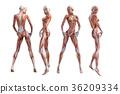 女性解剖肌肉3DCG例證材料 36209334