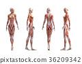 肌肉發達 肌肉 雙位 36209342