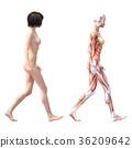 女性解剖肌肉3DCG例證材料 36209642