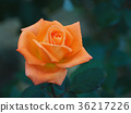 玫瑰 玫瑰花 秋日玫瑰 36217226