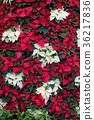 一品紅 紅色 花朵 36217836