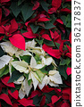 一品紅 樹葉 葉子 36217837