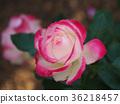 玫瑰 玫瑰花 薔薇 36218457
