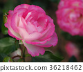 玫瑰 玫瑰花 薔薇 36218462