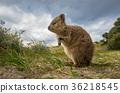 Quokka kangaroo, Rottnest island,  36218545