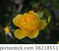 玫瑰 玫瑰花 薔薇 36218551