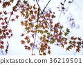 maple, yellow leafe, sky 36219501