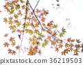 maple, yellow leafe, sky 36219503