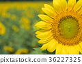 Sunflowers bloom in garden. 36227325