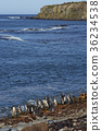 Magellanic Penguins on Sea Lion Island 36234538