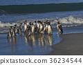 Magellanic Penguins on Sea Lion Island 36234544