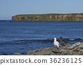 Pair of Kelp Geese 36236125