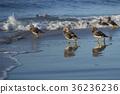 海灘 鳥兒 鳥 36236236