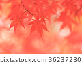 maple, yellow, leafe 36237280