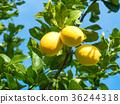 유기 레몬 36244318