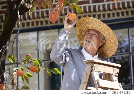 柿 水果 少男 36247130