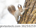 이쪽을보고있는 다람쥐 36250259