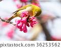 野生鳥類 野鳥 繡眼鳥 36253562