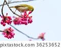 野生鳥類 野鳥 繡眼鳥 36253652