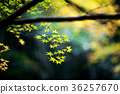 maple, yellow, leafe 36257670