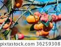 水果 日本柿 甜柿 36259308