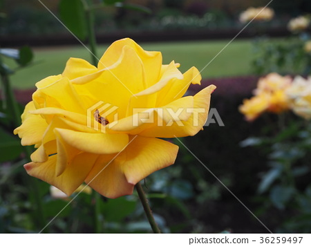 黃色的花 36259497