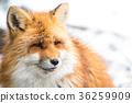 动物 狐狸 冬天 36259909