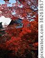 毗沙門度 楓樹 紅楓 36263857