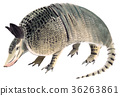 watercolor, armadillo, drawing 36263861