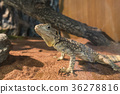 Asia Lizard 36278816