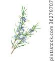 rosemary, botanic, botanical 36279707