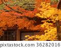 楓樹 紅楓 楓葉 36282016