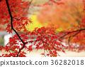 枫树 枫叶 红枫 36282018