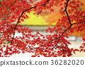 枫树 枫叶 红枫 36282020