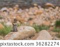 squirrel, squirrels, small animal 36282274