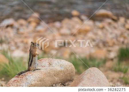 squirrel, squirrels, small animal 36282275