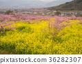 peach flower, yamanashi, rape 36282307